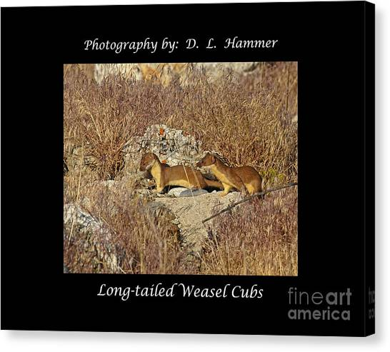 Long-tailed Weasel Cubs Canvas Print by Dennis Hammer