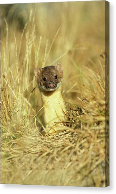 Long-tailed Weasel (mustela Frenata Canvas Print by Richard and Susan Day