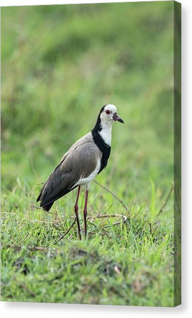 Lapwing Canvas Print - Long-toed Lapwing by Tony Camacho/science Photo Library