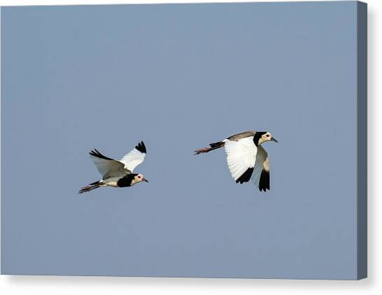 Lapwing Canvas Print - Long-toed Lapwings In Flight by Tony Camacho/science Photo Library