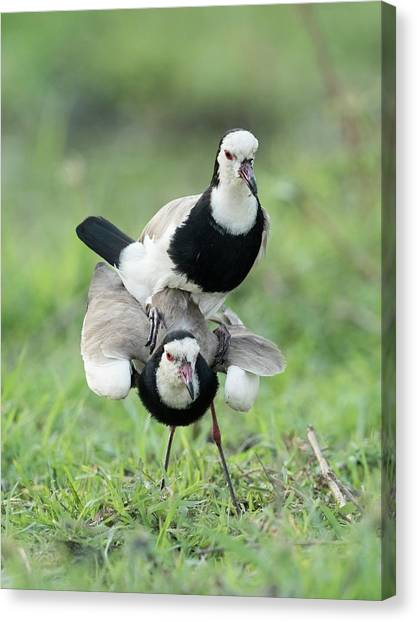 Lapwing Canvas Print - Long-toed Lapwings Mating by Tony Camacho/science Photo Library
