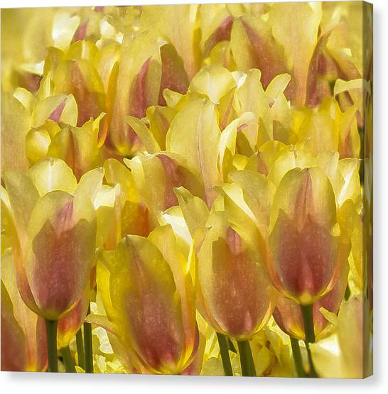 Longwood Gardens Tulips Canvas Print by Jill Balsam