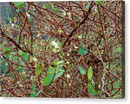 Lonicera X Purpusii Winter Beauty. Canvas Print by Adrian Thomas/science Photo Library