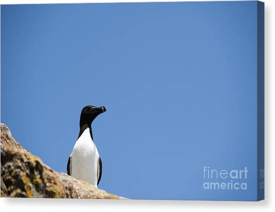 Razorbills Canvas Print - Look At Me by Anne Gilbert
