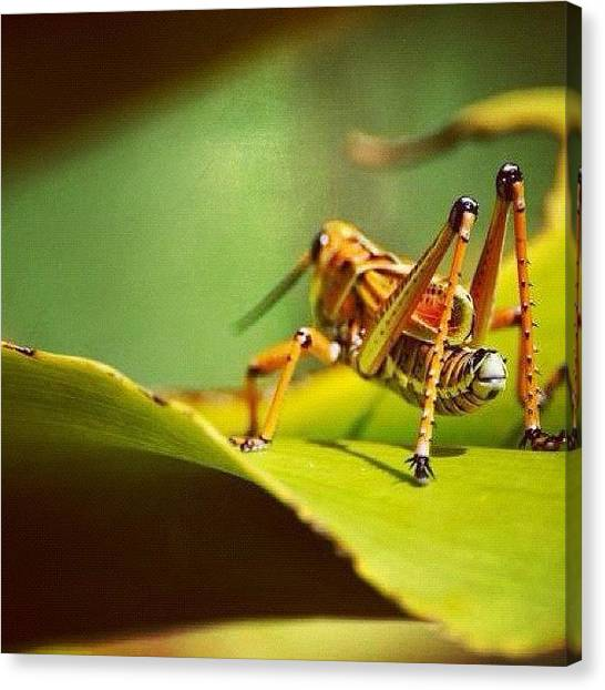 Grasshoppers Canvas Print - Look At Those Legs! by Susan Scherr
