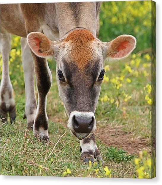 Brown Cow Canvas Print - Look Into My Eyes - Jersey Cow - Square by Gill Billington