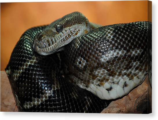 Reticulated Pythons Canvas Print - Look Into My Eyes by Sarah Stanaland
