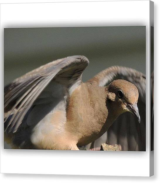 Dove Canvas Print - Look Out!! #dove #wings #bird #birds by Robb Needham