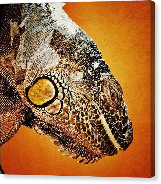 Iguanas Canvas Print - Looking Down...  by Tanya Sperling