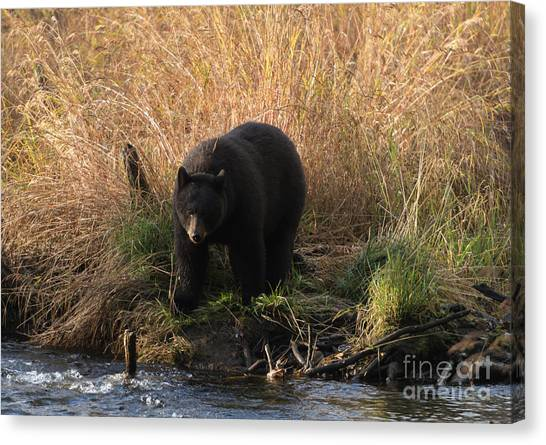 Black Bears Canvas Print - Looking For A Meal by Mike  Dawson