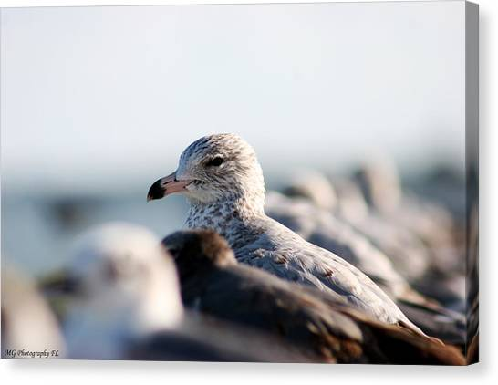 Looking Seagull Canvas Print