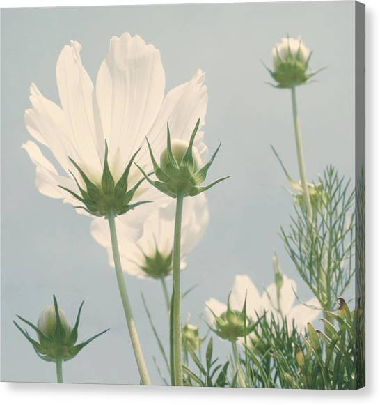 Cosmos Flower Canvas Print - Looking Up by Kim Hojnacki