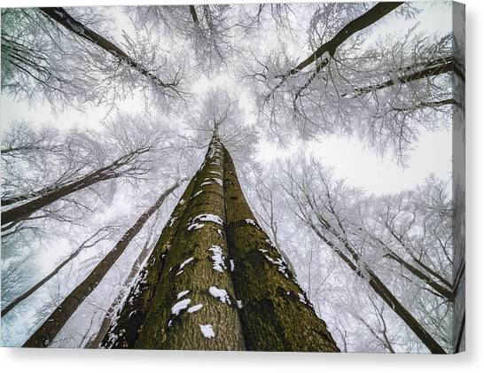 Hoarfrost Canvas Print - Looking Up by Tom Pavlasek