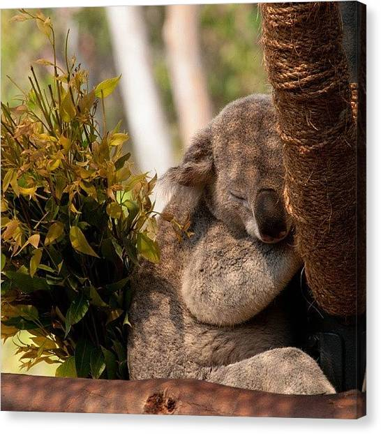 Koala Canvas Print - Looks So Cuddly #nikonphotography by Phil Day