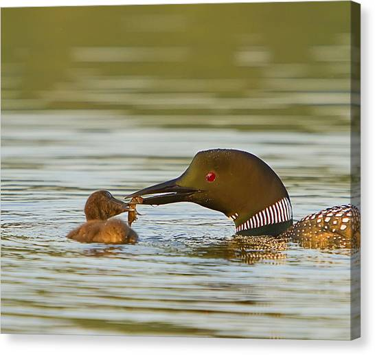 Loon Feeding Chick Canvas Print