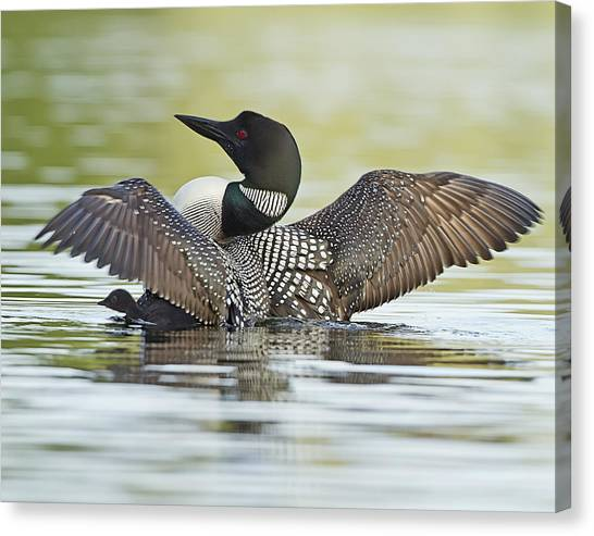 Loon Wing Spread With Chick Canvas Print