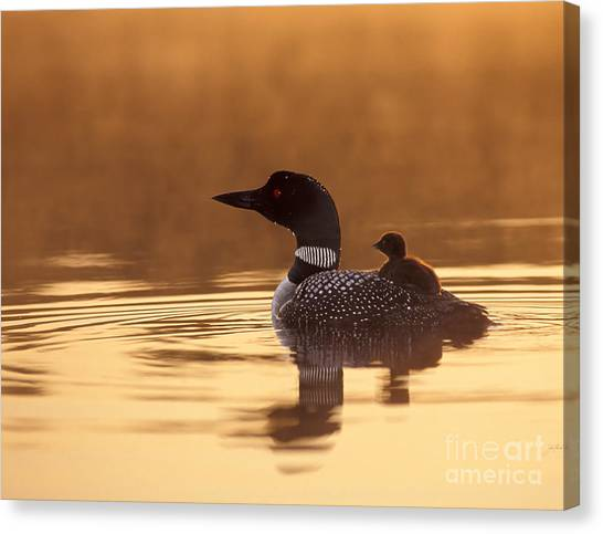 Loons Canvas Print - Loon With Chick At Dawn by Jim Block