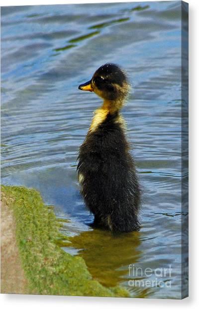 Lost Duckling Canvas Print