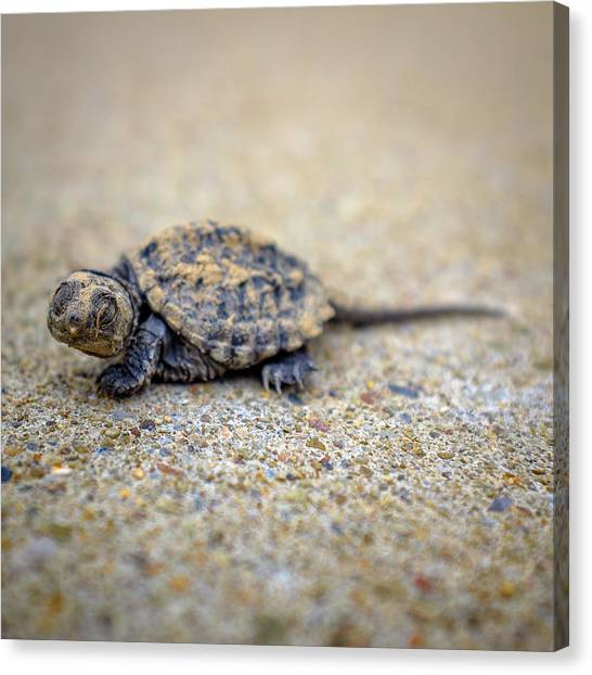 Snapping Turtles Canvas Print - Lost In A Concrete Jungle by Chris Bordeleau