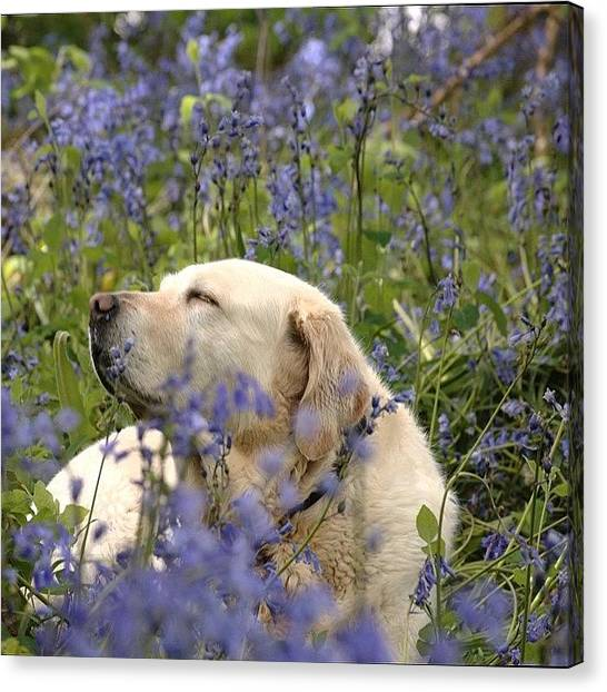 Labrador Retrievers Canvas Print - Lots Of Bluebells by Eoin Milner