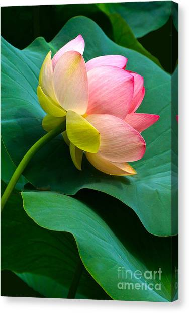 Lotus Blossom And Leaves Canvas Print