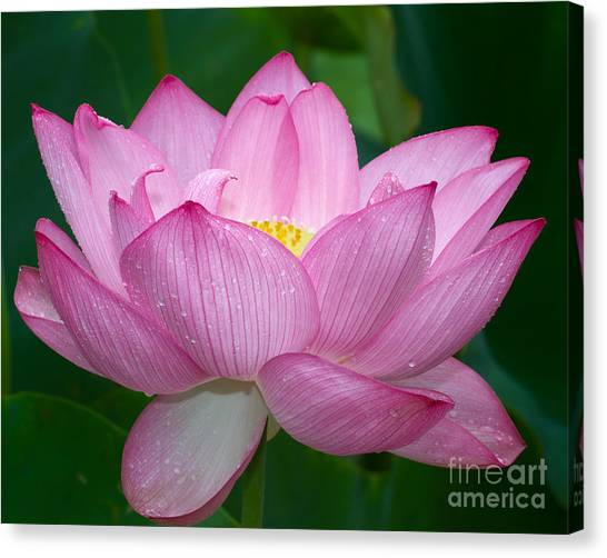 Lotus Drops Canvas Print