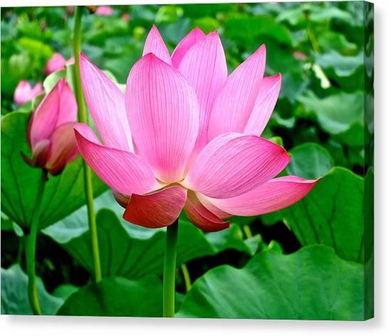 Lotus Heaven - 68 Canvas Print