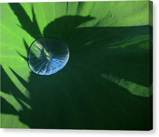 Lotus Leaf With Dew   Canvas Print