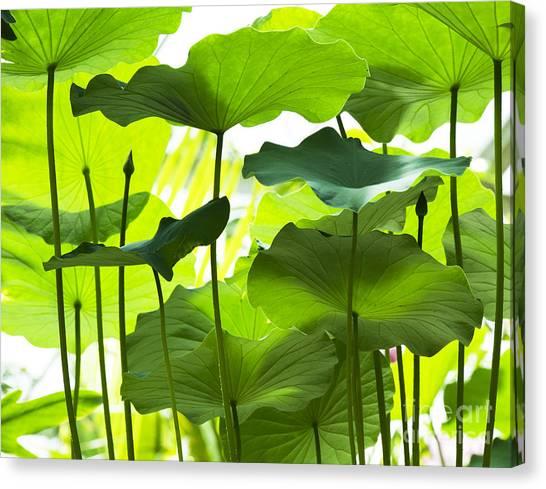 Nelumbo Canvas Print - Lotus Leaves by Tim Gainey
