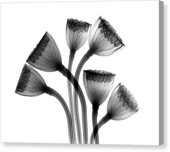 Lotus Seedheads Canvas Print by Albert Koetsier X-ray