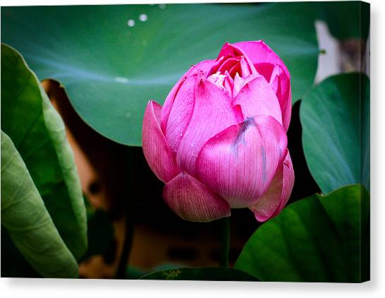 Lotus Singapore Flower Canvas Print by Donald Chen