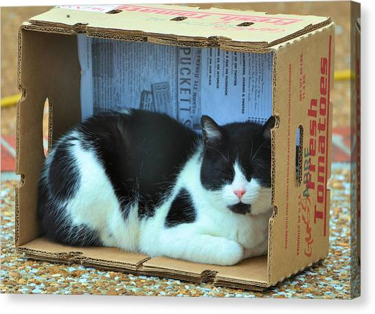 Manx Cats Canvas Print - Louie In The Box by Jan Amiss Photography