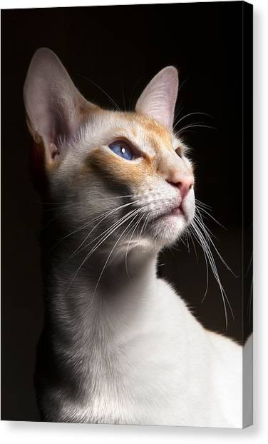 Siamese Canvas Print - Louie by Samuel Whitton