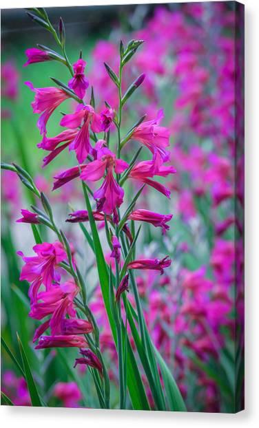 Louisiana Pink Iris Fulva Canvas Print