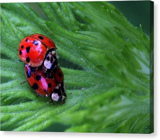 Love Bugs Canvas Print by JC Findley
