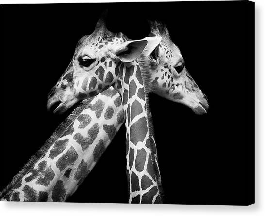Zoo Canvas Print - Love by David Williams