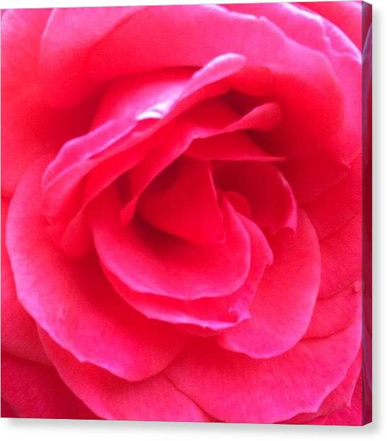 Valentines Day Canvas Print - Love In Full Bloom - Anniversary Rose by Anna Porter