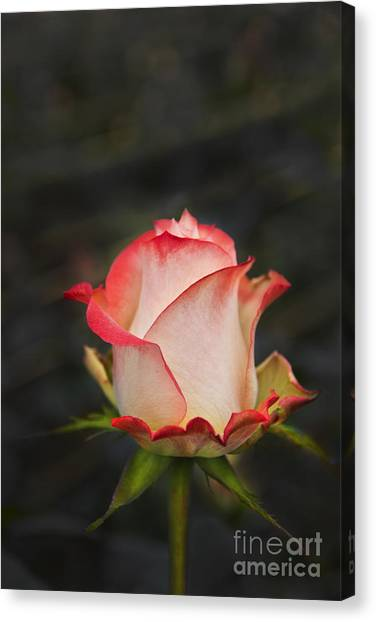 Neil Young Canvas Print - Love Is A Rose II by Al Bourassa