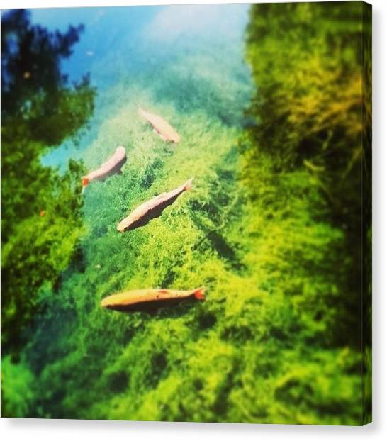Koi Canvas Print - #love #koi #koicarp #carp #tweegram by Megan Watts