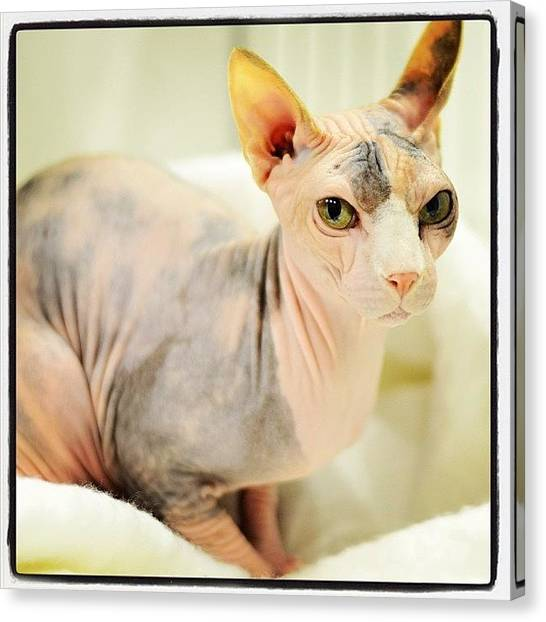 Sphynx Cats Canvas Print - Love #sphynx #cat #cute #pet #adorable by Samantha Charity Hall