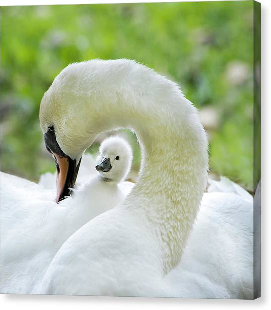 Swan Canvas Print - Love Surrounds by Jacky Parker