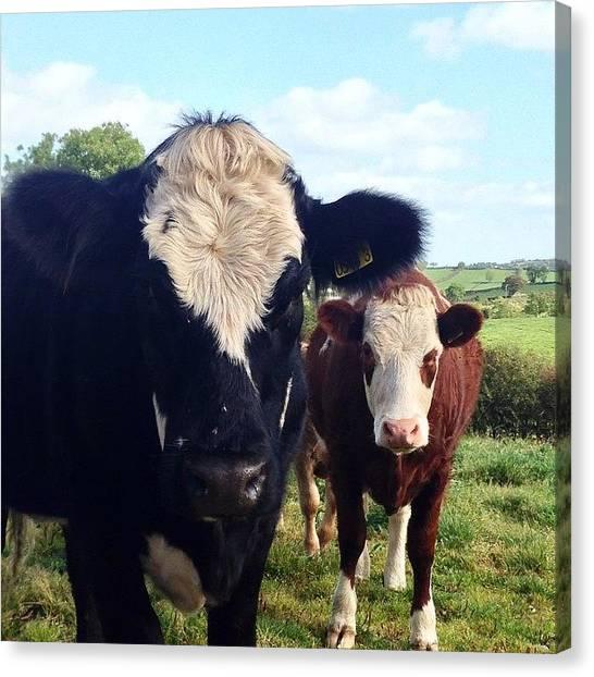 Farm Animals Canvas Print - Cows In Northern Ireland by Lorraine Sambo
