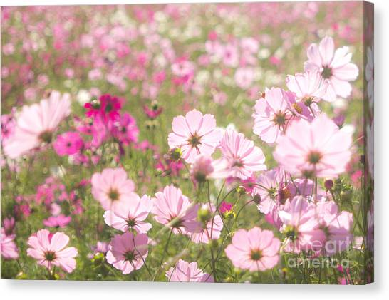 Lovely Backlit Pink And Fuchsia Cosmos Flower Field Canvas Print