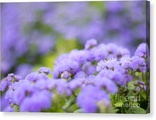 Lovely Blue Mink With Lavender Tones In Soft Focus Canvas Print