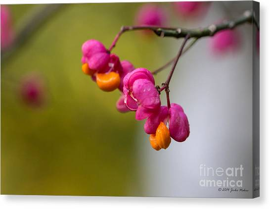 Lovely Colors - European Spindle Flower Seeds Canvas Print