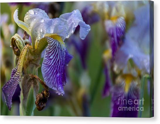 Lovely Iris Canvas Print