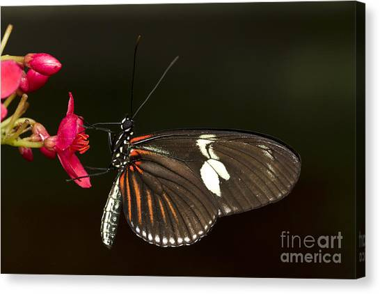 Lovely Longwing Canvas Print
