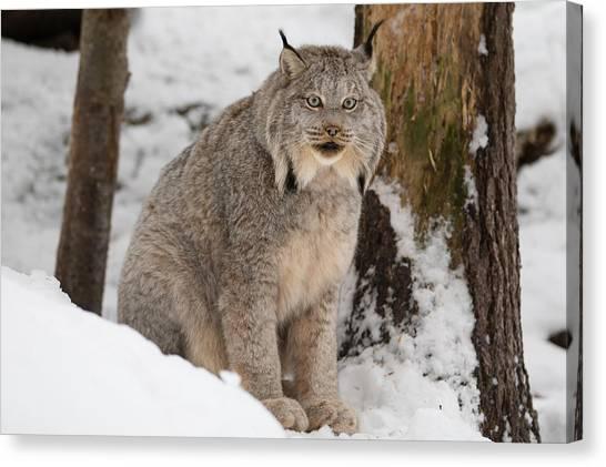 Lovely Lynx Canvas Print