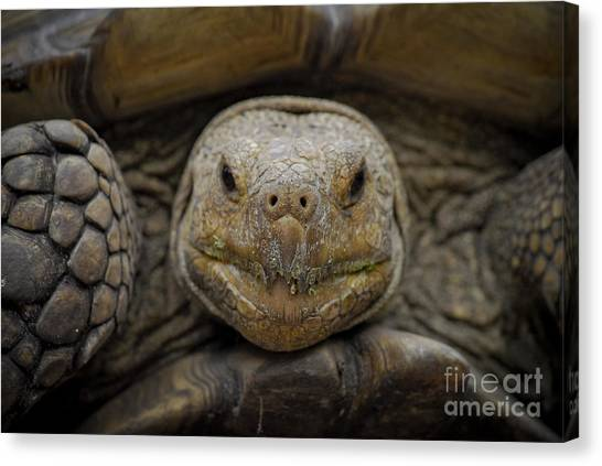 Tortoises Canvas Print - Low And Slow by Quinn Sedam