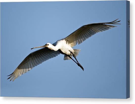 Spoonbills Canvas Print - Low Angle View Of A Eurasian Spoonbill by Panoramic Images